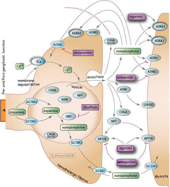 Sympathetic Nerve Pathway (Neuroeffector Junction)